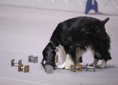 Gunner, working his article pile at the 2014 AKC Classic